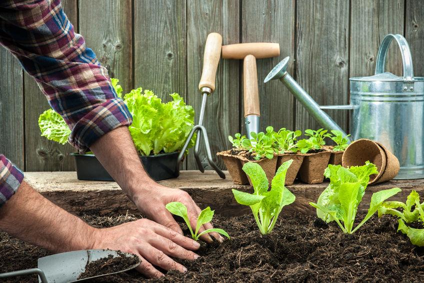 použitie domáceho hnojiva na rastliny v záhradke
