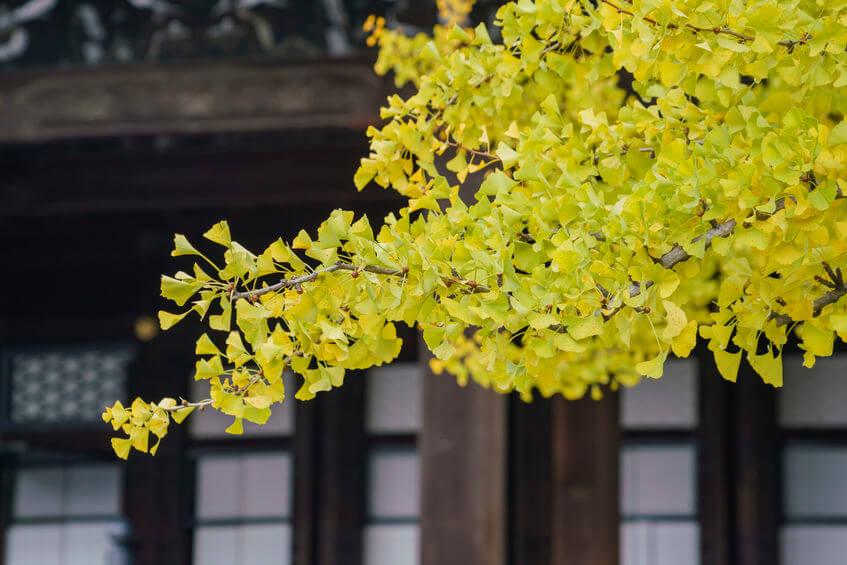 Lístky gingo biloba na strome v Japonsku
