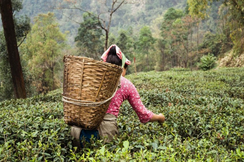 tea tree olej_čajovníkový olej_liečivé účinky