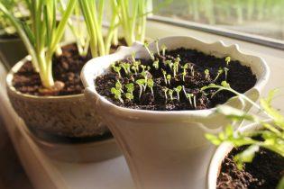 Ako si doma vypestovať čerstvé bylinky?